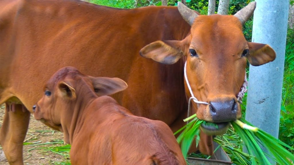 Bán con bò